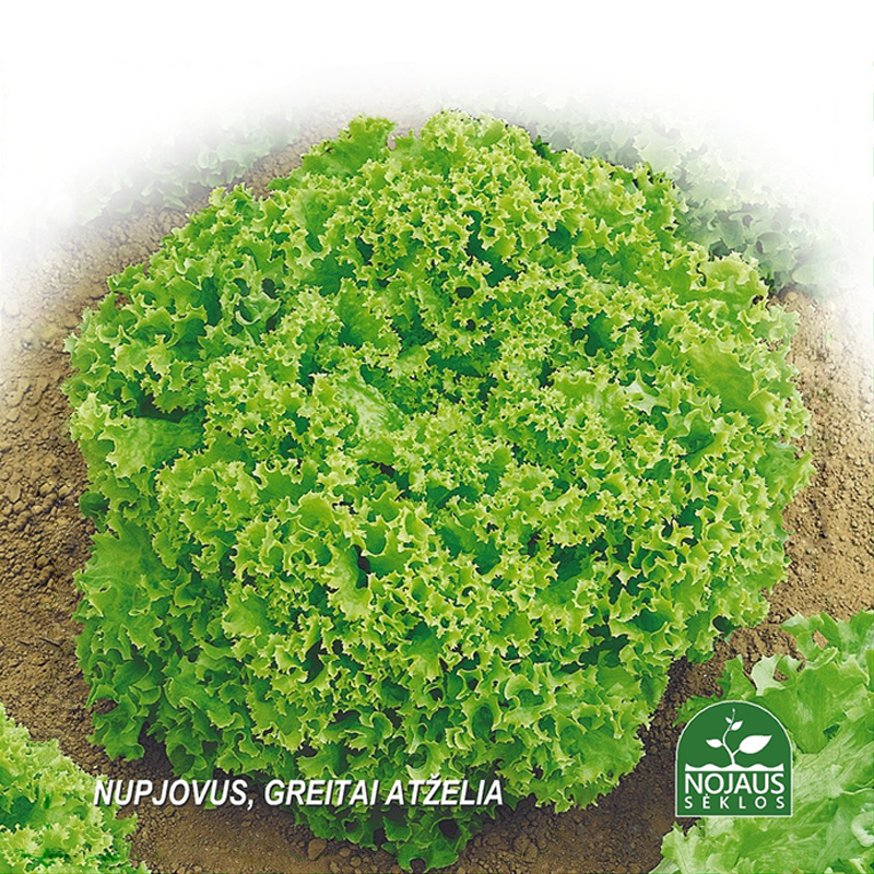 Sallad Organic BioSeed Lollo Bionda, Ekologiksa fröer till Sallad - Lollo Bionda - Lactuca sativa L.