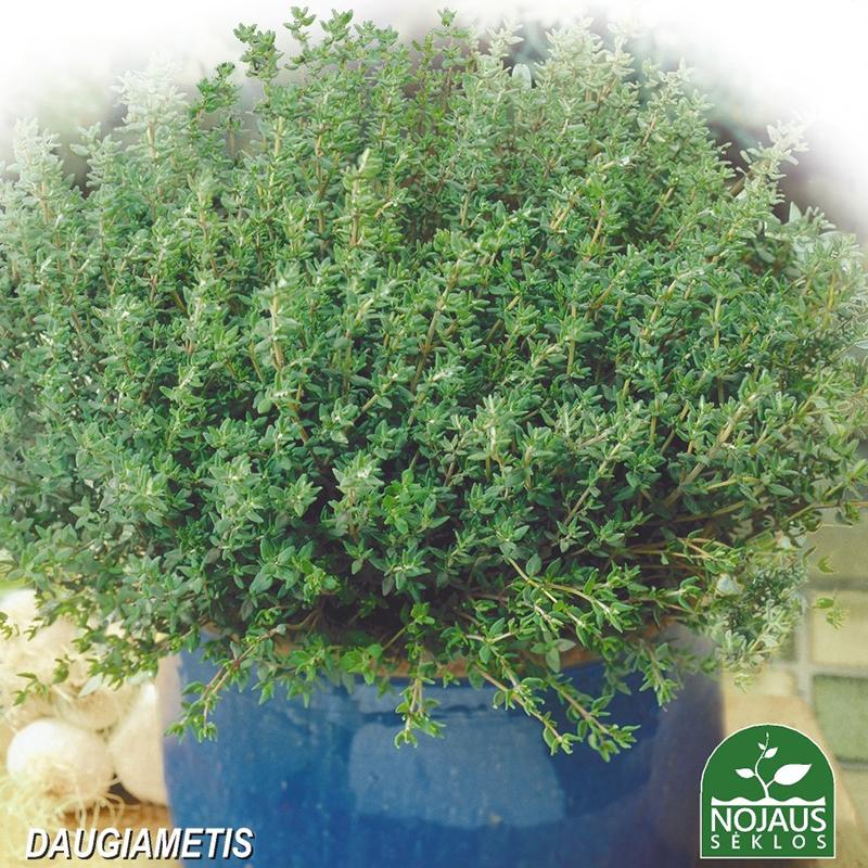 Timjan Organic BioSeed, ekologiskt frö-Ekologiska fröer till Timjan - Thymus vulgaris L.
