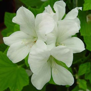 P. cucullatum subsp. strigifolium-vildpelargon, vildart, vildpelargonfrö, frö pelargonfrö, pelargonium