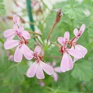 P. exstipulatum-vildpelargon, vildart, vildpelargonfrö, frö pelargonfrö, pelargonium