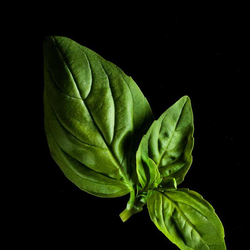 Frökapsel Plantui Smart Garden - Basilika, Citronbasilika-Frökapsel till Smart Garden inomhusodling - Ocimum basilicum - Citron