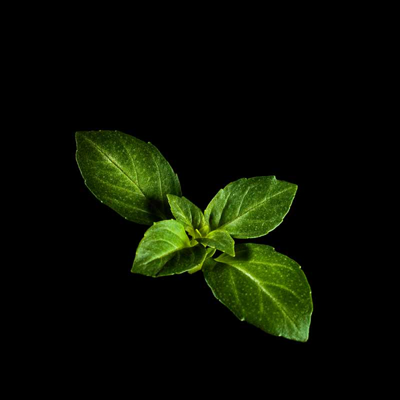 Frökapsel Plantui Smart Garden - Basilika, Minette-Frökapsel till Smart Garden inomhusodling - Ocimum basilicum - Minette