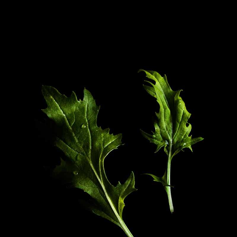 Frökapsel Plantui Smart Garden - Mizuna-Frökapsel till Smart Garden inomhusodling - Brassica rapa var. japonica