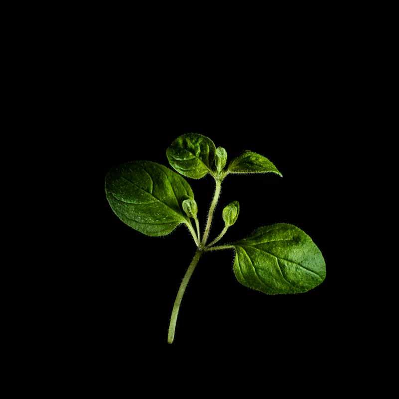 Frökapsel Plantui Smart Garden - Oregano-Frökapsel till Smart Garden inomhusodling - Origanum vulgare