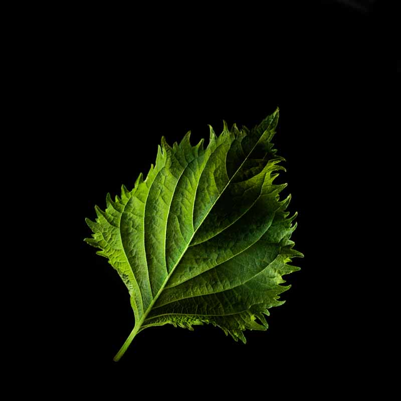 Frökapsel Plantui Smart Garden - Shiso, Perilla-Frökapsel till Smart Garden inomhusodling - Perilla frutescens Nankinensis
