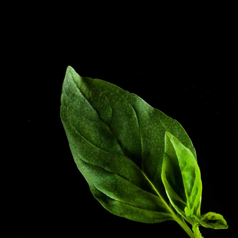 Frökapsel Plantui Smart Garden - Basilika, Thaibasilika, Frökapsel till Smart Garden inomhusodling - Ocimum basilicum - Thai