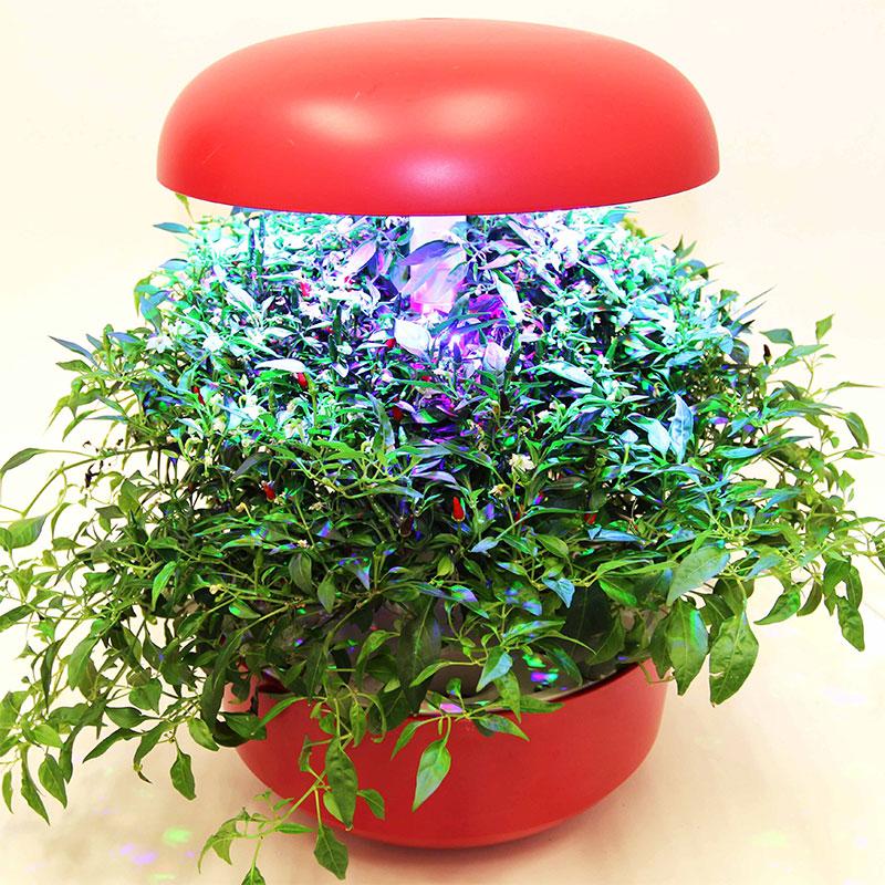 Odling av chili inomhus i hydrokultur