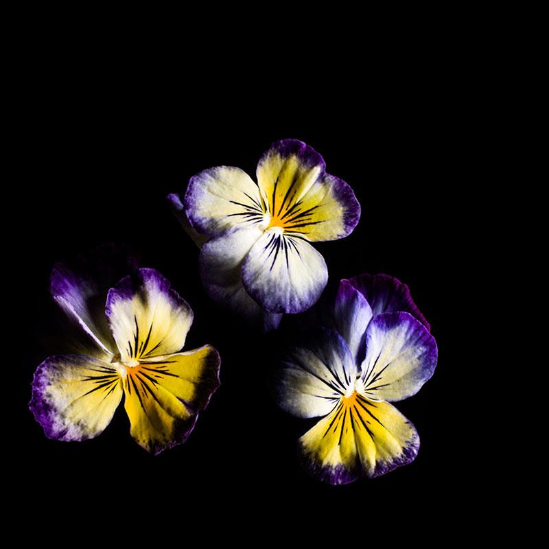 Frökapsel Plantui Smart Garden - Hornviol 'Lemon Blueberry Swirl', Frökapsel till Smart Garden inomhusodling - Viola cornuta hybr. Lemon Blueberry Swirl