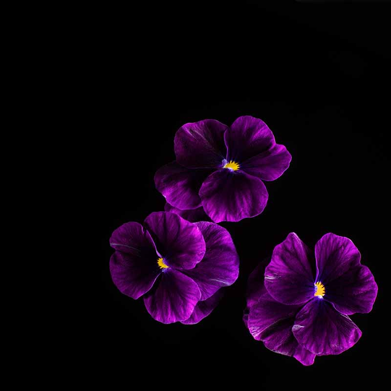 Frökapsel Plantui Smart Garden - Hornviol 'Purple', Frökapsel till Smart Garden inomhusodling - Viola cornuta hybr. Purple
