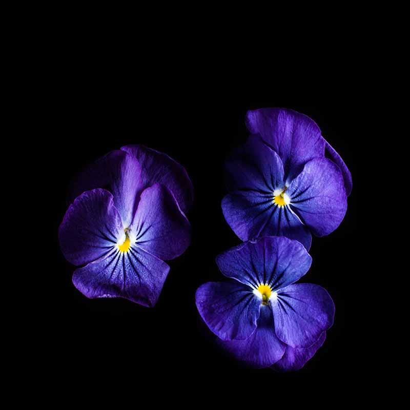 Frökapsel Plantui Smart Garden - Hornviol 'True Blue', Frökapsel till Smart Garden inomhusodling - Viola cornuta hybr. True Blue