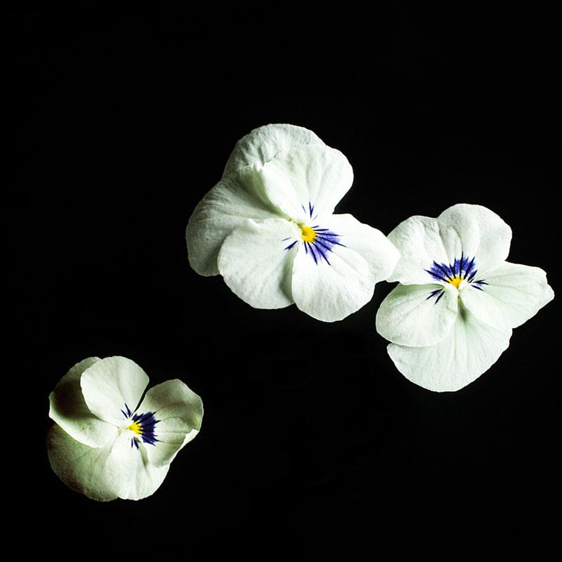 Frökapsel till Smart Garden inomhusodling - Viola cornuta hybr. White Blotch