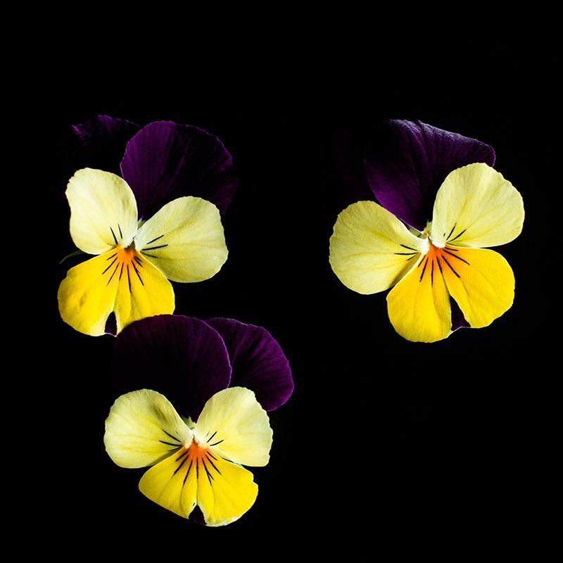 Frökapsel Plantui Smart Garden - Hornviol 'Yellow Jump Up', Frökapsel till Smart Garden inomhusodling - Viola cornuta hybr. Yellow Jump Up