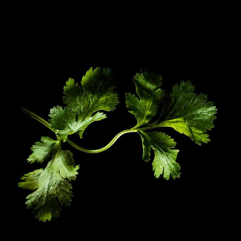Frökapsel Plantui Smart Garden - Koriander, Frökapsel till Smart Garden inomhusodling - Coriandrum  sativum