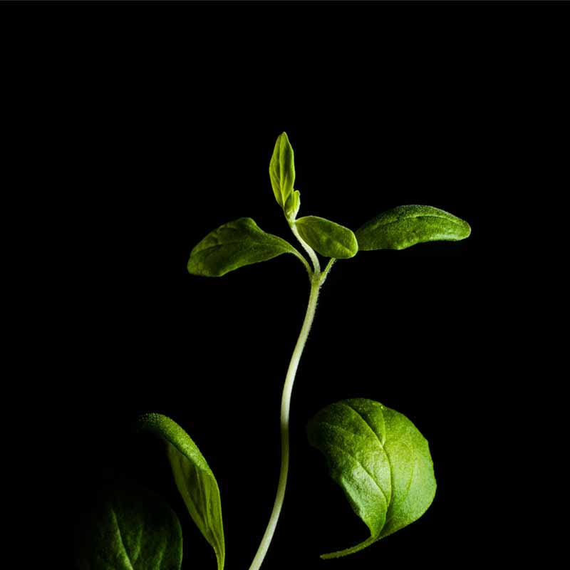 Frökapsel Plantui Smart Garden - Mejram, Frökapsel till Smart Garden inomhusodling - Origanum majorana