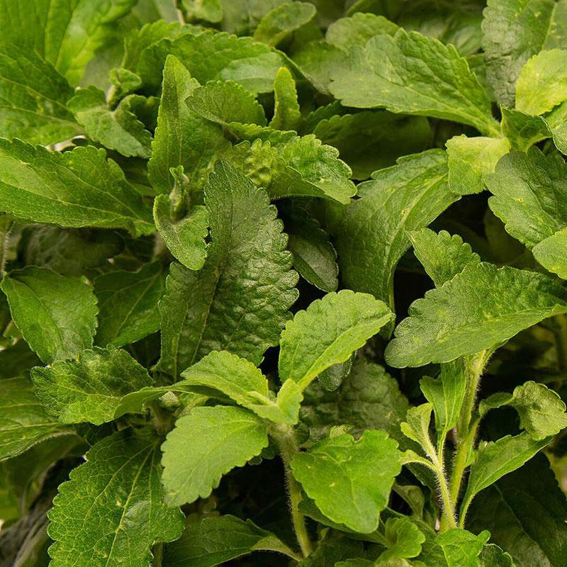 Frökapsel Plantui Smart Garden - Stevia