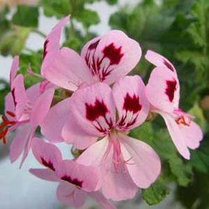 P. quercifolium-vildpelargon, vildart, vildpelargonfrö, frö pelargonfrö, pelargonium