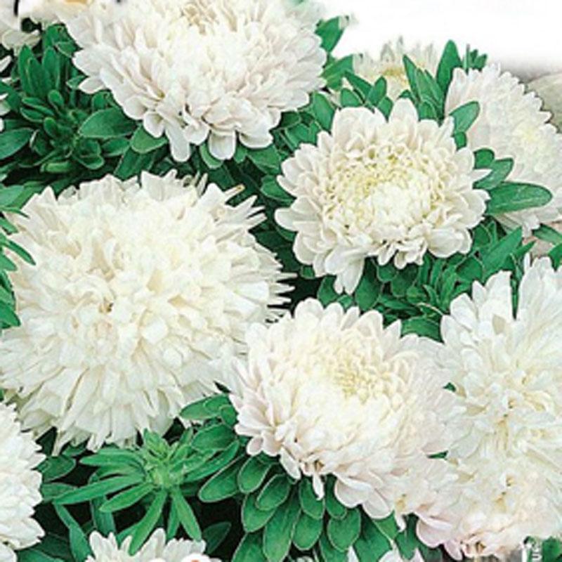 Aster Colour Carpet, white, Frö till Aster - Colour Carpet, white
