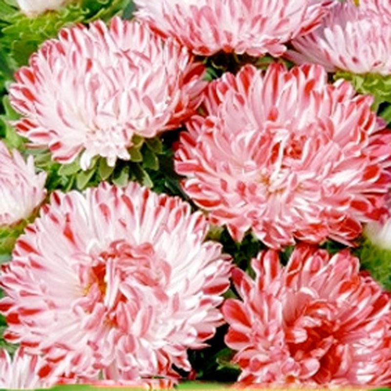 Frö till Aster - Contraster' dwarf pink&white