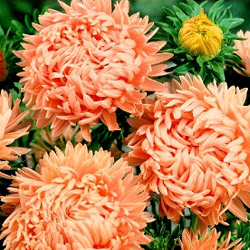 Aster Duchesse, coral & rose, Frö till Aster - Cuchesse, coral & rose