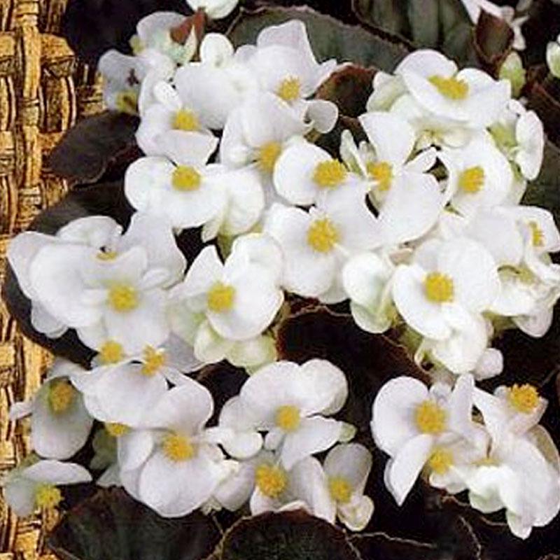 Frö till Begonia - Ostas,  white