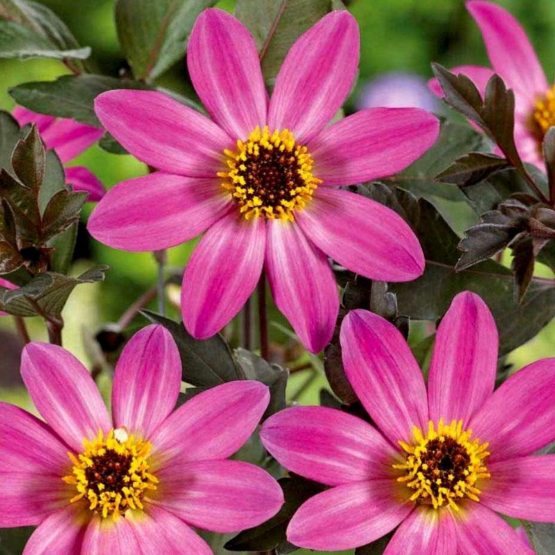 Sommardahlia Mignon, rose shades, Frö till Sommardahlia - Mignon, rose shades