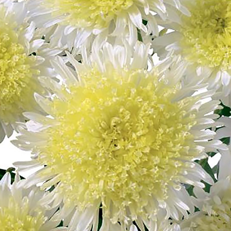 Aster China Rose of Shanghai Yellow-Frö till Aster China Rose of Shanghai Yellow