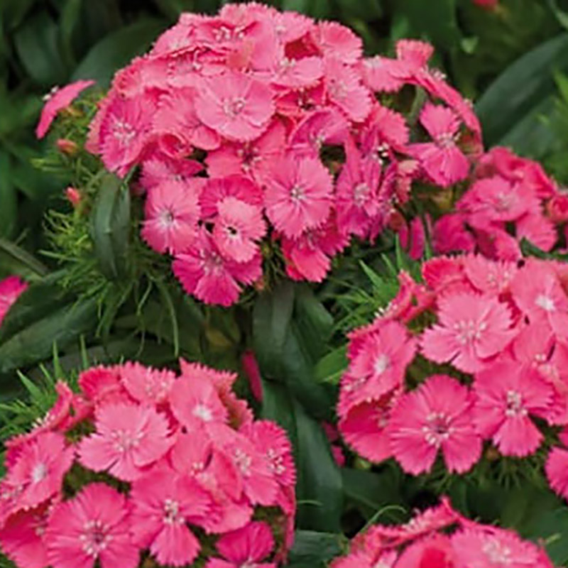 Borstnejlika Pink Beauty-Frö till Borstnejlika Sweet William Pink Beauty