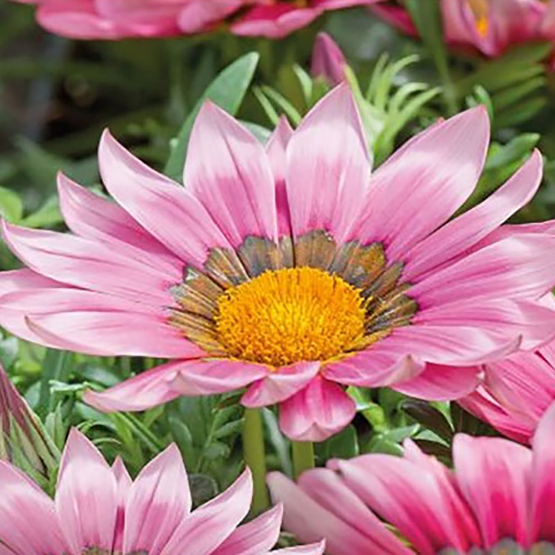 Gazania New Day & Pink Shade, Frö till Gazania New Day & Pink Shade