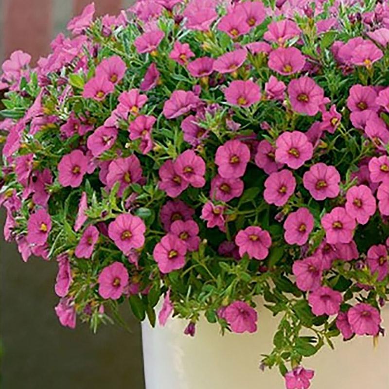 Petunia Kabloom Deep Pink-Frö till Petunia Kabloom Deep Pink