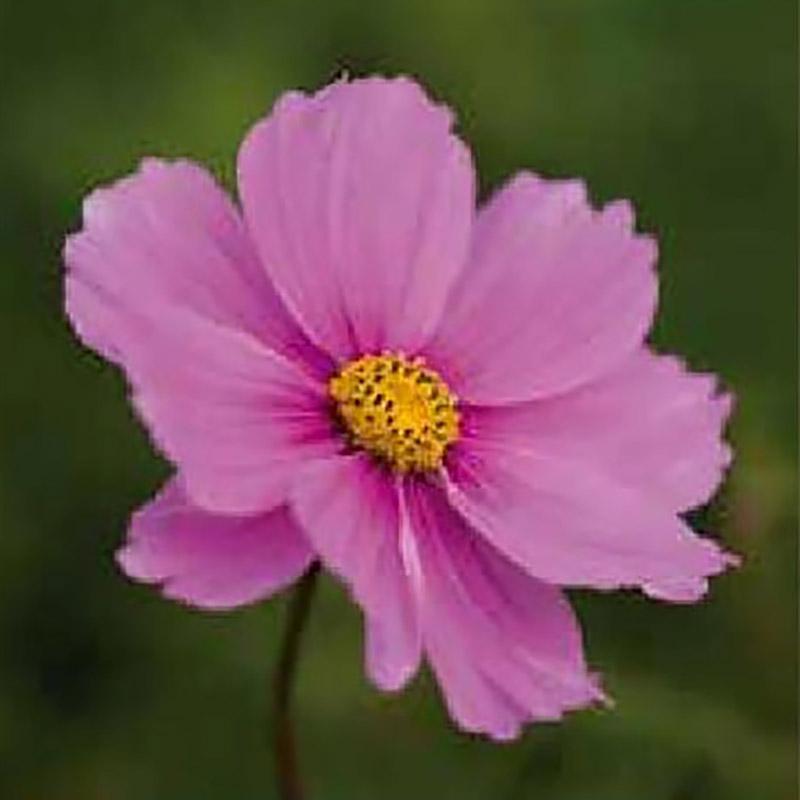 Rosenskära Garden Dark Rose-Frö till Rosenskära Cosmos Dark Rose