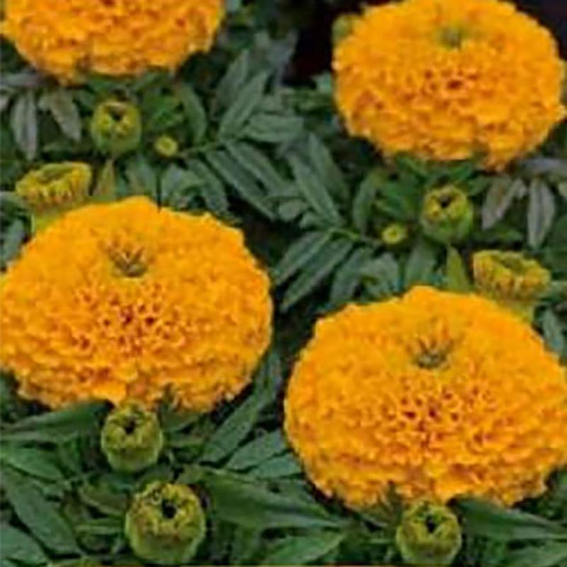 Tagetes African Taishan Yellow-Frö till Tagetes African Taishan Yellow