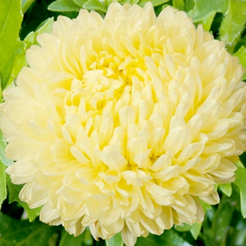 Frö till Aster - Paeony, yellow