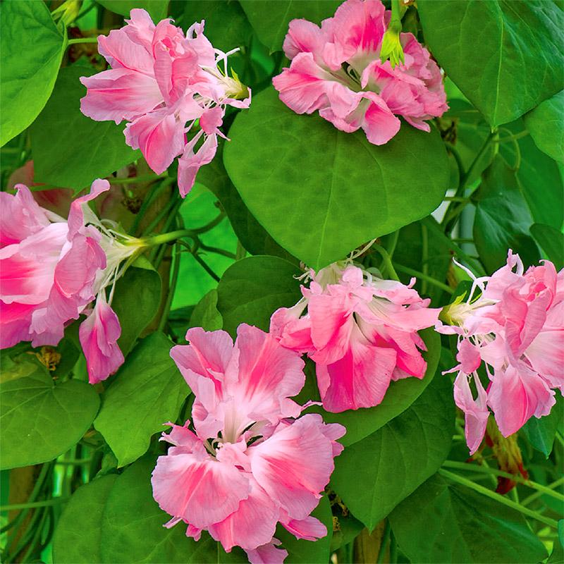 Blomman för dagen, Raffles Pink-Frö till Morning Glory Raffles Pink