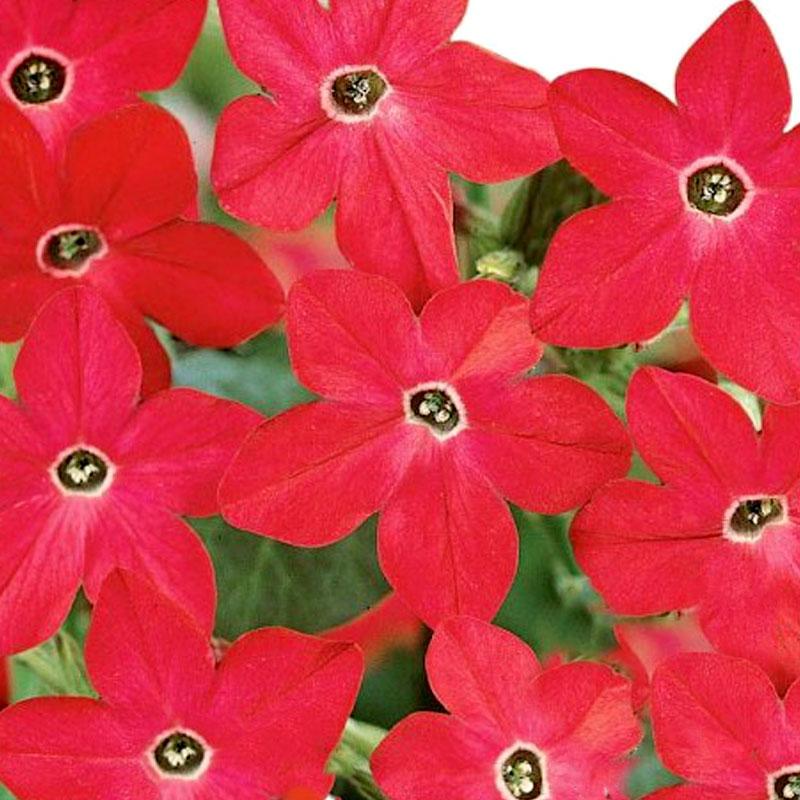 Frö till Blomstertobak - Crimson Bedder