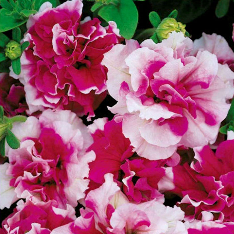 Frö till Doftpetunia - Duo Rose & White