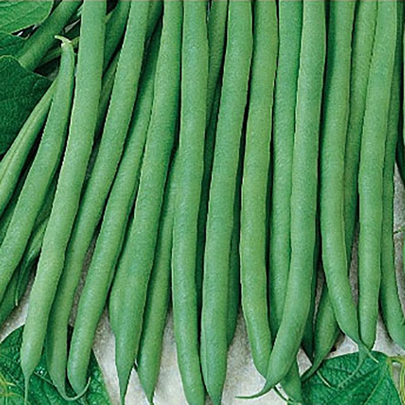 Dvärgböna French Bean - Moliere-Frö till Dvärgböna - French Bean - Moliere
