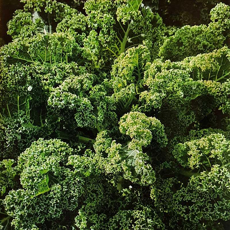 Frö till Grönkål 'Tintoreto'