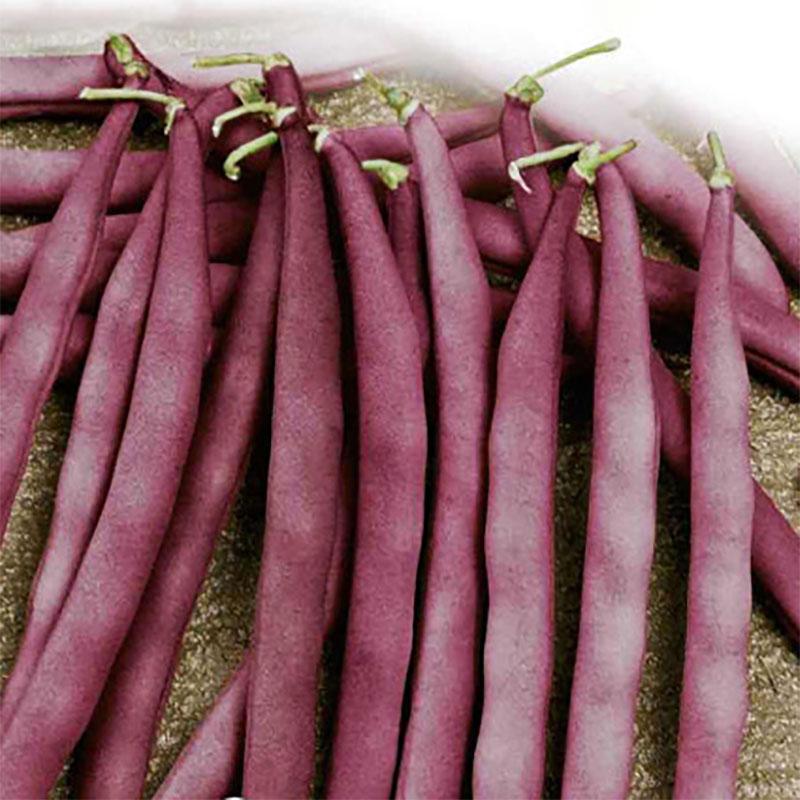 Frö till Böna - French Bean, Blauhilde