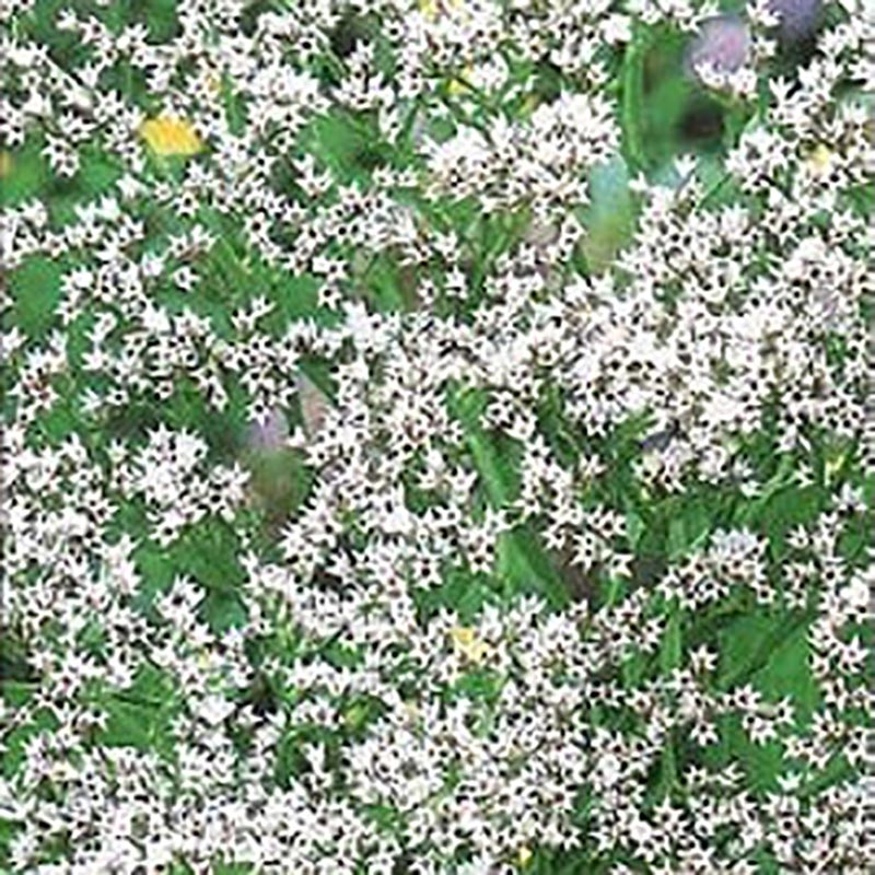 Kvastrisp  white-Frö till Kvastrisp, white