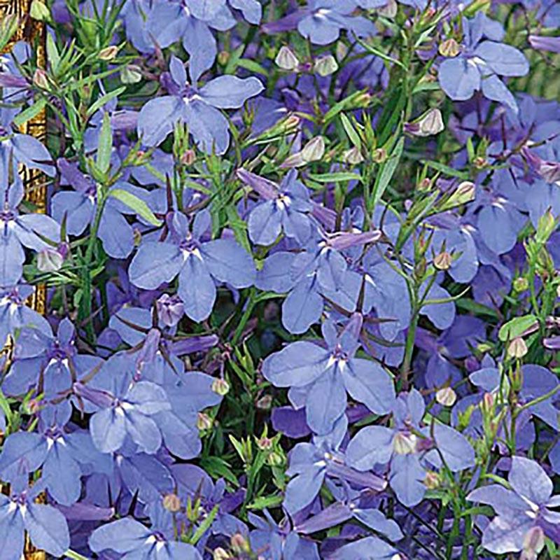 Kantlobelia Regatta Sky blue-Frö till Kantlobelia - Regatta Sky blue
