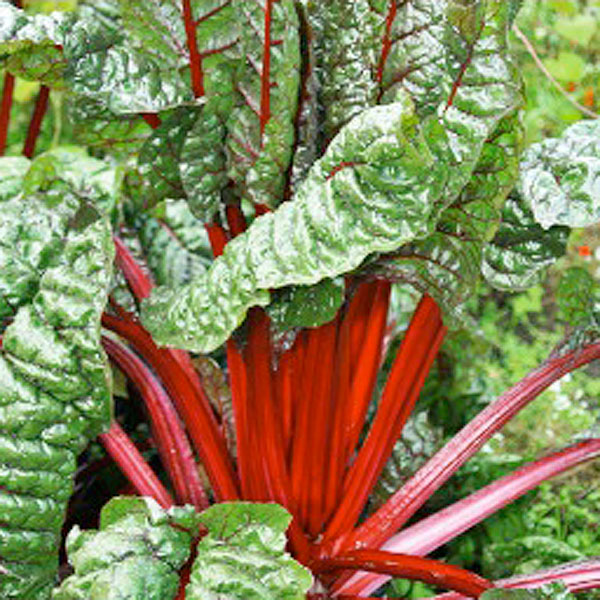 Frö till Mangold - Rhubarb Chard