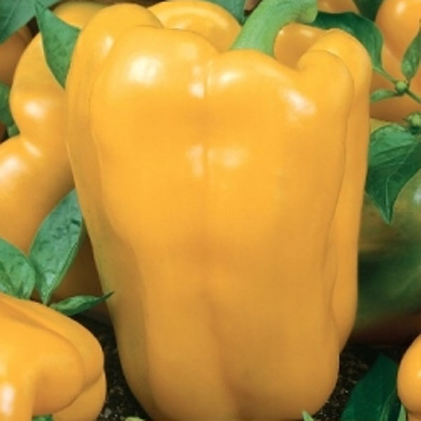 Frö till paprika - Theos