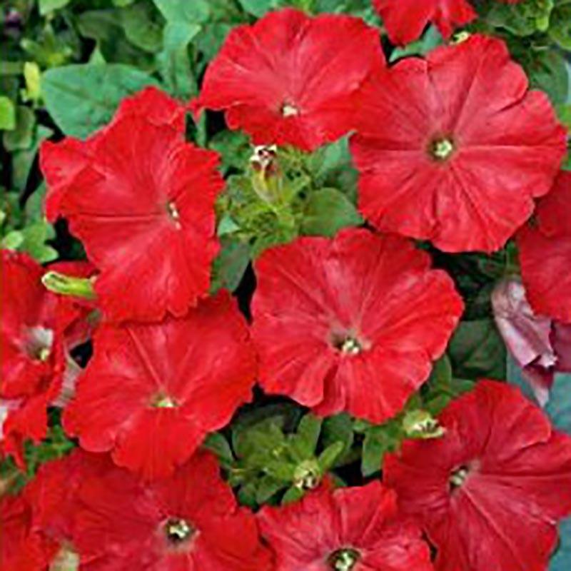 Frö till Petunia - Easy Wave, red