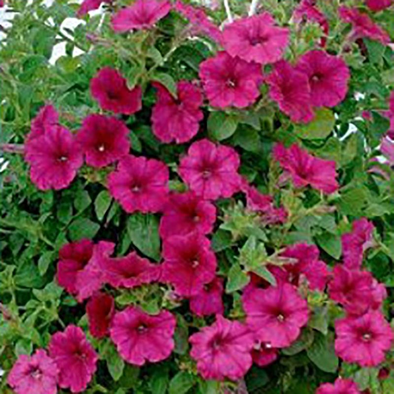 Petunia Wave Purple Improved, Frö till Petunia - Wave Purple Improved