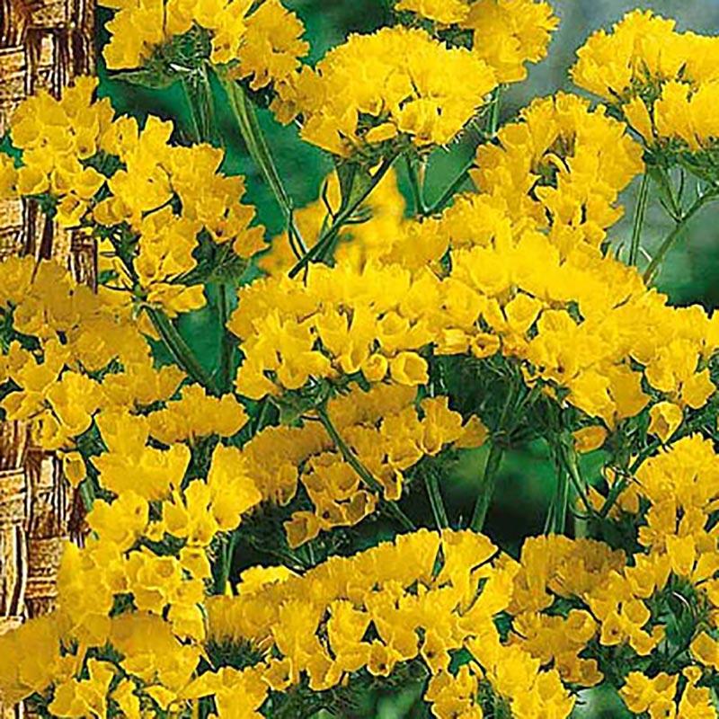 Frö till Risp , gul