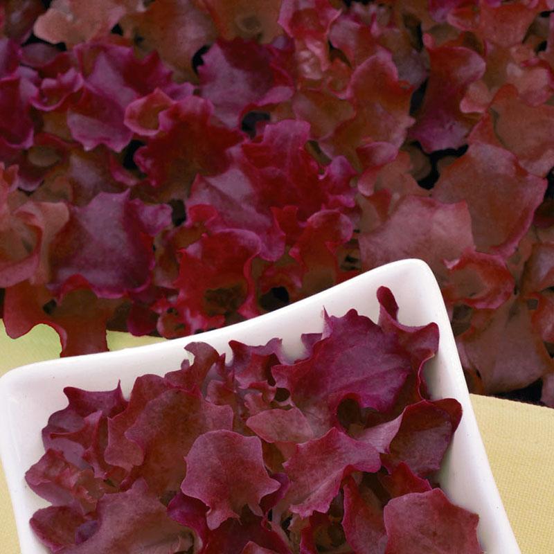 Frö till Sallad, Baby leaf - Redlo