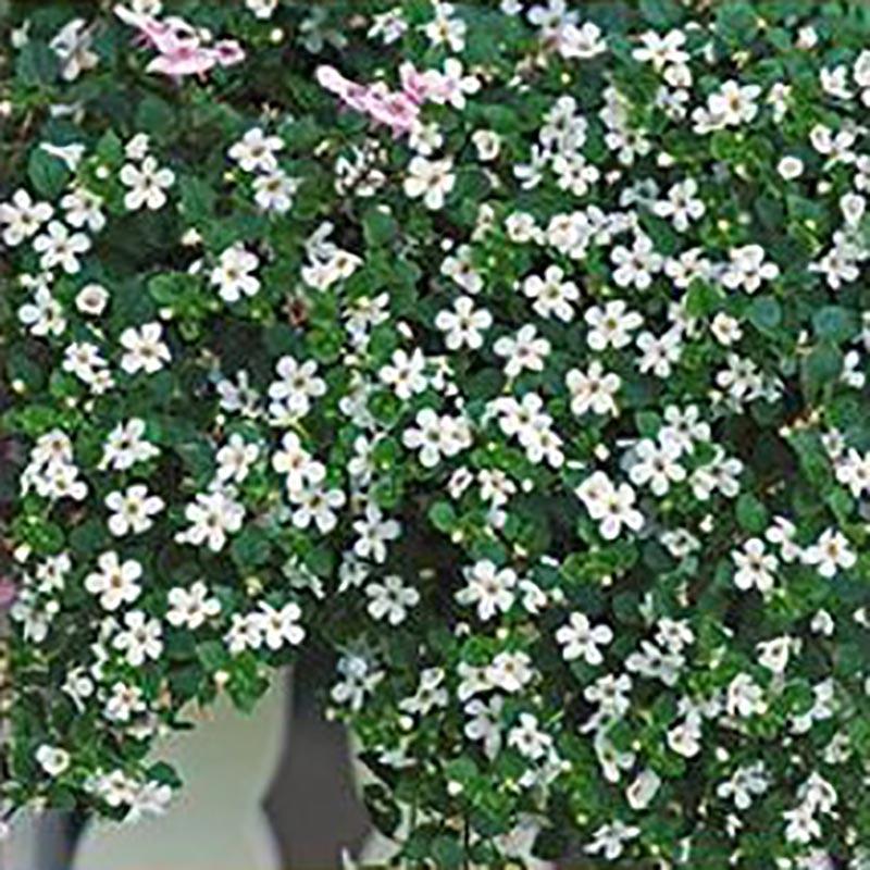 Frö till Snöflinga - Bacopa Snowtopia white
