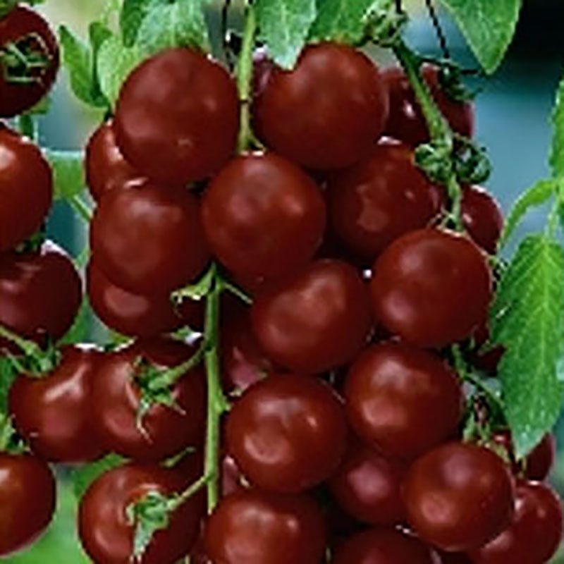 Tomat Black Cherry-Frö till Tomat - Black Cherry