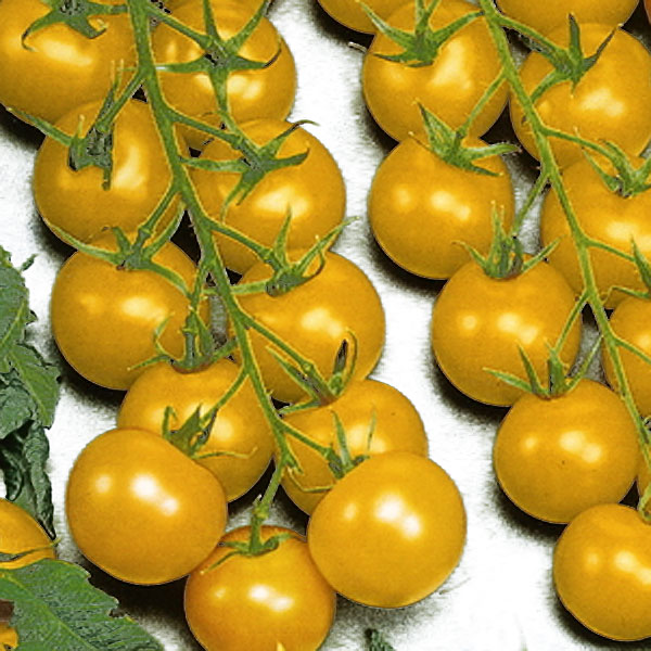 Tomat Goldkrone-Frö till Tomat - Goldkrone