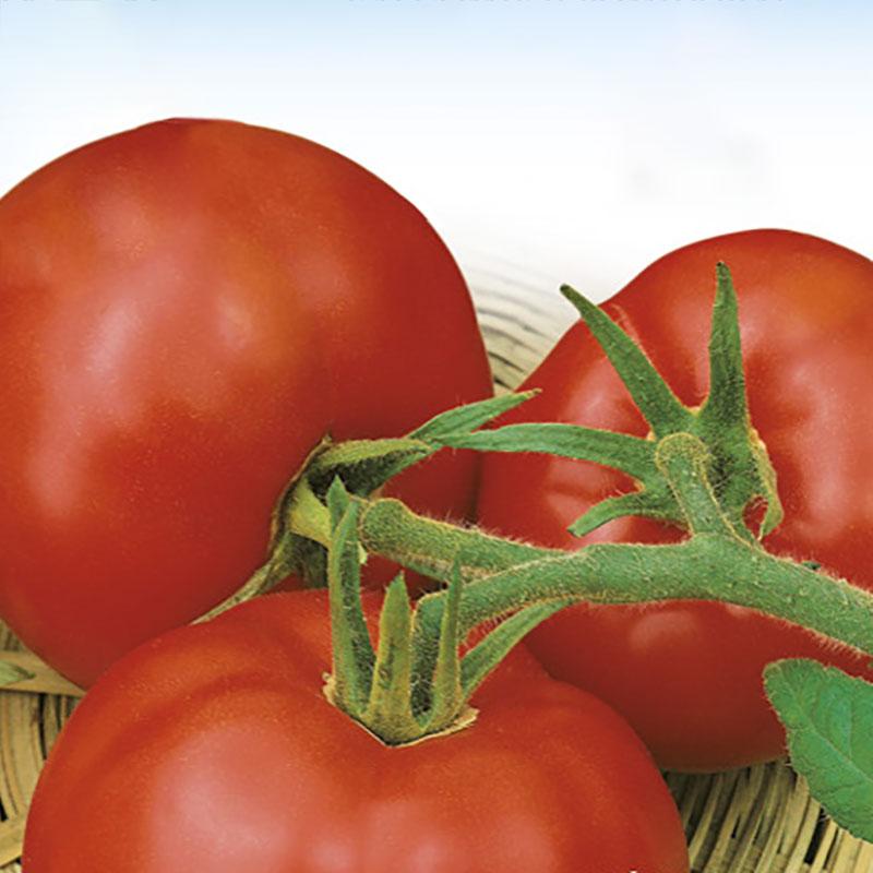 Frö till Tomat - Moneymaker